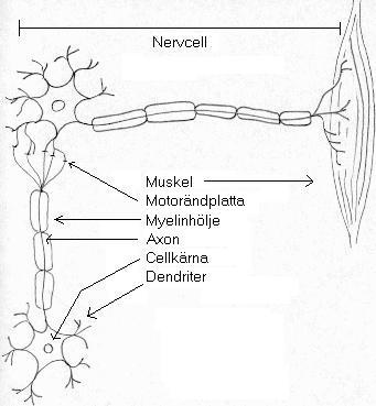 hur ser en nervcell ut